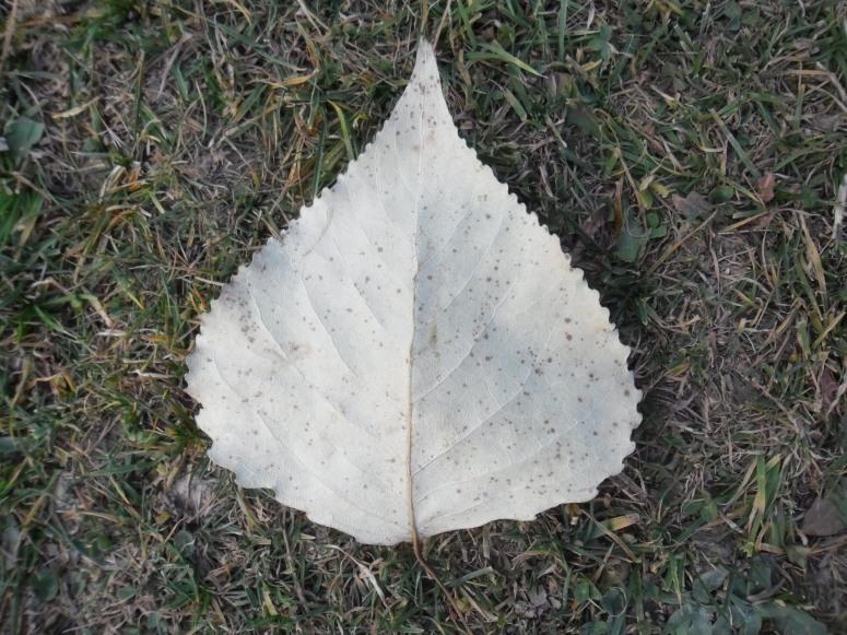 peepal_leaf