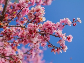 Charry-blossoms-hero